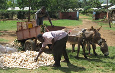 Collecting the harvest by donkey cart