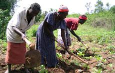 Women weeding crops